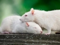 बारिश में घर से चूहें भगाने के आसान से उपाय
