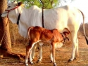 जानवरों को मच्छर काटने से घटता है दूध का उत्पादन