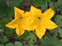 कद्दू की सब्जी नहीं इसके फूलों में छिपे है सेहत के राज