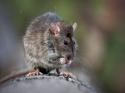 घरों में न होने दें चूहें, वरना हो सकती है ये बीमारी