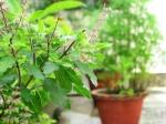 अगर सूख रहा है घर में रखा तुलसी का पौधा तो आने वाला है आप पर यह संकट