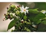 सेहत के लिए गुणों का भंडार है पारिजात का फूल, जानें इसके फायदें