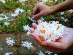 वनवास के दौरान माता सीता पारिजात के फूलों से करती थीं श्रृंगार, जानें इन फूलों का धार्मिक महत्व