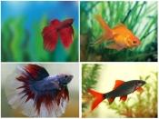 ऑफिस के डेस्क पर रखिये ये शानदार मछलियां