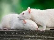 बारिश में घुस आए घर में चूहें, इन आसान तरीकों से भगाएं