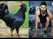 विराट को मिली कड़कनाथ चिकन खाने की सलाह, जाने क्या खास बात है इस ब्लैक चिकन की