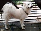 पड़ोसी कुत्ते से थे ' नाजायज संबंध', मालिक ने 3 साल की पमेरियन को घर से निकाला