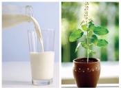 सर्दियों में तुलसी वाले दूध पीने से होते हैं कई फायदे, कैंसर को रखें दूर