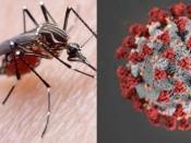 मानसून आते ही छाया टाइगर मच्छर का खौफ, डेंगू और कोरोना के एक जैसे लक्षण में न हो जाएं कंफ्यूज