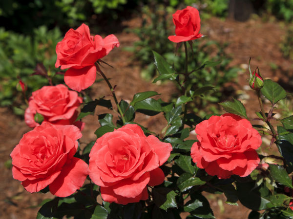 Looking After Hybrid Roses