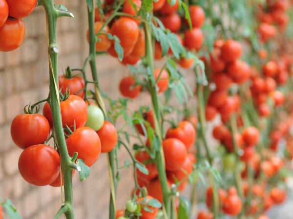Tips For Growing Tomatoes: Winter Special