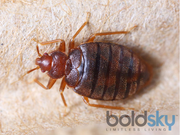 Kill Bed Bugs With Pungent Ingredients
