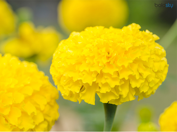 Image result for गेंदे के फूल