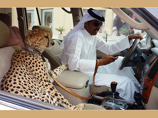 Cheetah In Car