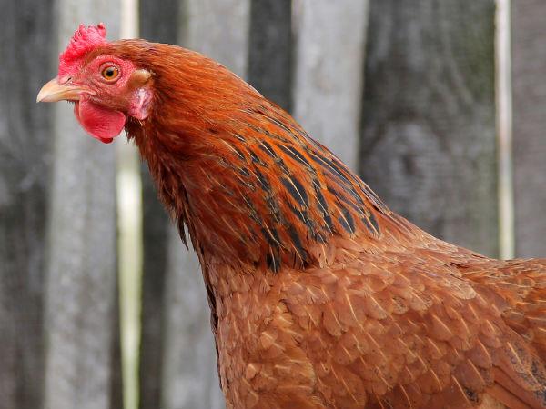 क्या Broiler Chicken स्वास्थ्य के लिए खतरनाक है?