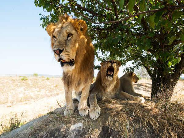 शेरों ने बचाई अपहरणकर्ताओं से लड़की की जिंदगी