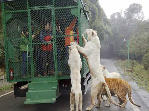 इस चिडि़याघर मे पिंजरे में इंसानों को डालकर दिखाए जाते हैं खुले शेर