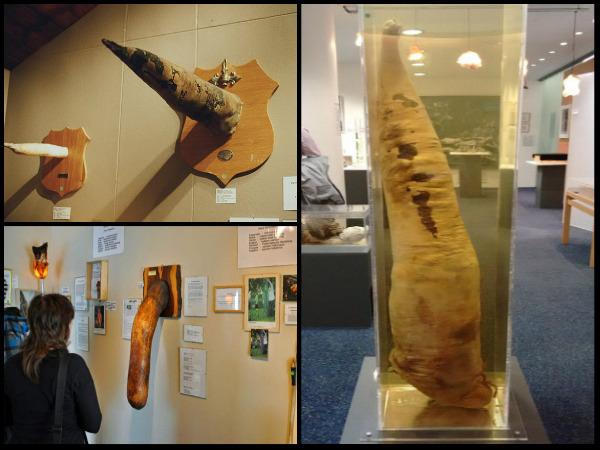 पेनिस म्यूज़ियम:  जहां जानवरो, मछलियों और इंसानो के 300 लिंगों को संग्रहित करके रखा गया हैं