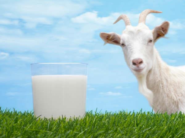 क्या बकरी का दूध पीना सेहत के लिए फायदेमंद है?
