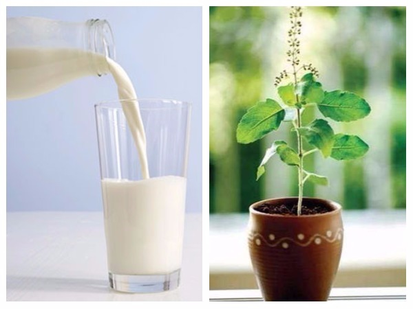health benefits of Drink Tulsi With Milk