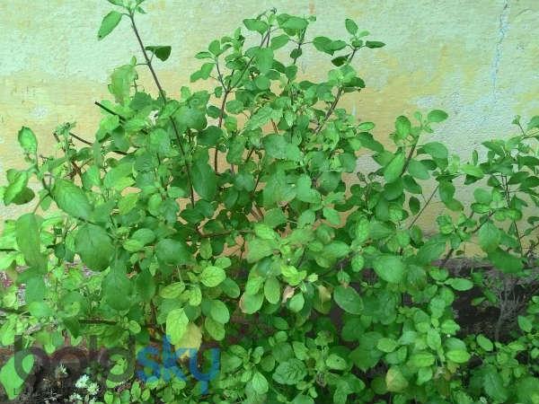रोजाना सुबह तुलसी की पत्तियां खाने से होते हैं ये 8 फायदे