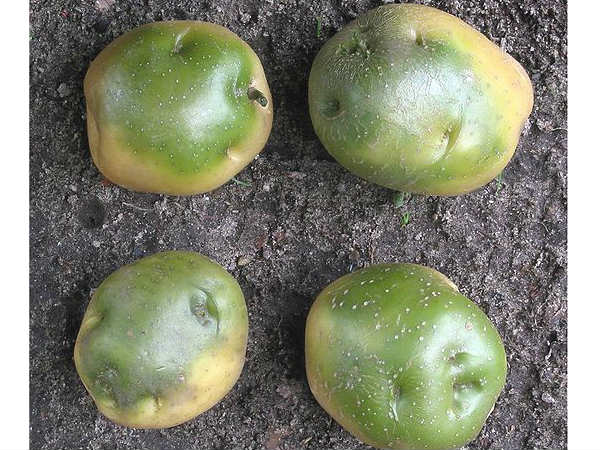 Are Green Potatoes Poisonous?