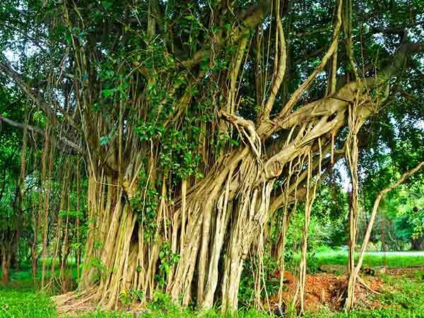 मर्दाना कमजोरी दूर करता है बरगद का पेड़, जानें और क्या है फायदें?