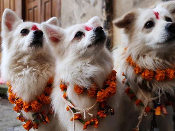 नेपाल में क्यों मनाया जाता है डॉग फेस्टिवल, जानें इस अनोखी परम्परा के बारे में