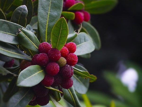 किसी दवा से कम नहीं है ये पहाड़ी फल, कैंसर जैसी बीमारी को देती है मात