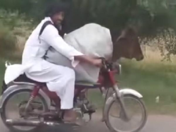 Pakistani man rides bike with cow sitting in front; clip goes viral