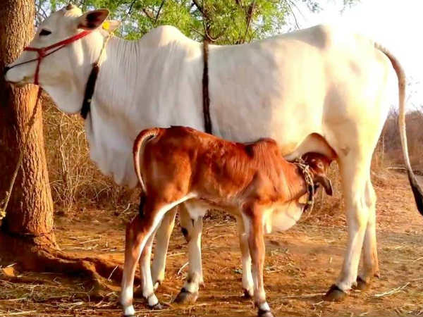 does mosquito affect cattle animal and milk production?