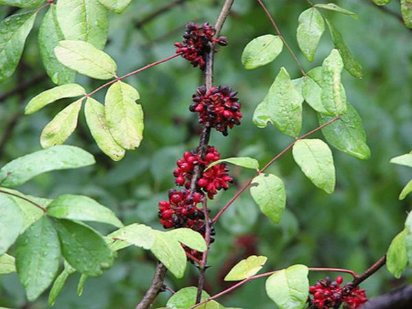 उत्तराखंड का ये पौधा नहीं है किसी औषधि से कम, वैज्ञानिकों ने भी माने इस पहाड़ी नीम के गुण को