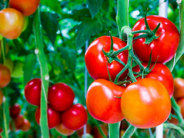 Here's how you can grow the juiciest tomatoes