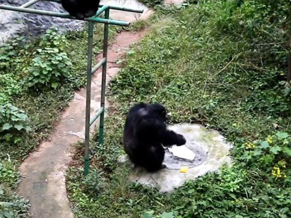 चिम्पांजी का वीडियो हुआ वायरल, धोबी बनकर चमकायी टी-शर्ट