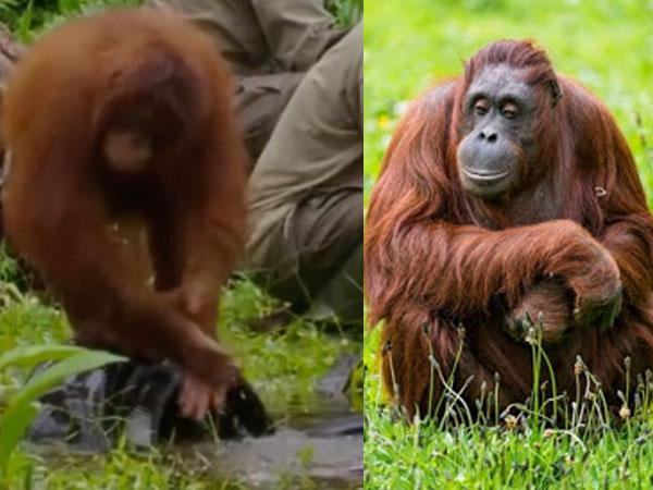 जानवरों में भी कोरोना का खौफ, ओरंगउटान ने धोए हाथ-वीडियो वायरल