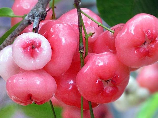 कभी सफेद जामुन या रोज एप्प्ल फ्रूट खाएं हैं आपने, जानें इससे होने वाले फायदों के बारे में