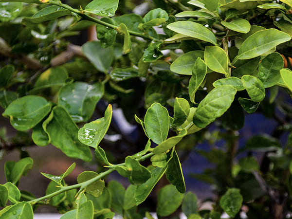Health Effects of Lemon Leaves