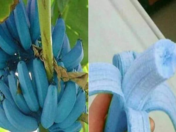 क्या आपने नीले रंग का केला देखा है, स्वाद में वनीला आइसक्रीम