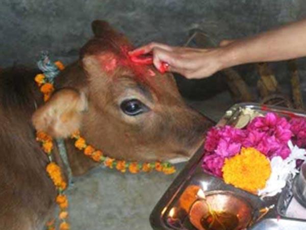 गाय को खिलाएं घी व गुड़