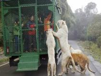 इस जूू् में पिंजरे से इंसानों को दिखाए जाते हैं खुुले शेर
