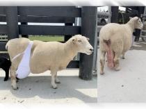 इंटरनेट पर क्यों ब्रा पहने भेड़ की फोटो हो रही है वायरल!