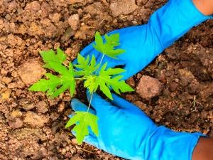 Steps Plant Papayas Your Garden 006537