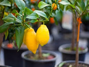 How Grow Lemon Your Garden