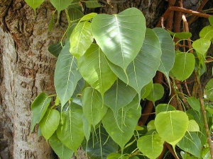 Importance How Worship Peepal Tree
