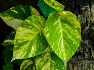 Beware A Money Plant Can Affect You Negatively If You Don T Do These Things