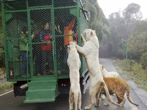Chinese Zoo Puts Visitors Metal Cages Lets Animals Roam Fre