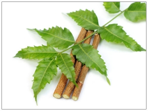 Why Indians Chew Neem Sticks Benefits Brushing With Neem Stick Posted