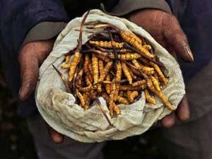 Yarsagumba The Himalayan Viagra