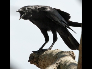 If Crow Cry Like This On The Balcony It May Be Signs Death