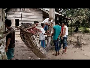 23 Feet Long Python Has Been Confronted An Unhurried Man
